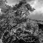 Big Sur Tree Study 6 B&W by GJKImages