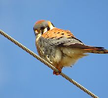 Kestrel Under Blue Skies by lorilee