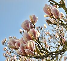 Glorious Magnolia - Lyme. Dorset. UK by lynn carter