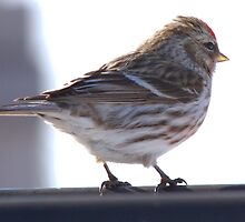 Sunny Finch by Kathi Arnell