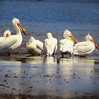 Pelicans In A Row by lorilee