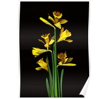 Daffodil / Jonquil ~ Narcissus Bouquet Poster