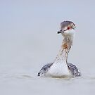 Molting Horned Grebe. by Daniel Cadieux
