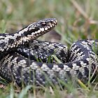 adder by Alan Forder