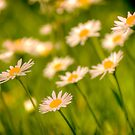 A daisy field in Bruges by Elana Bailey