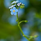 Blue flowers by Csar Torres
