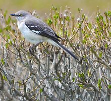 Northern Mockingbird by Poete100