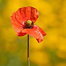 Papaver rhoeas by Csar Torres