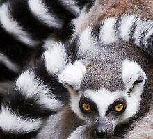Pile of Lemurs by LamCatPhoto