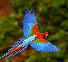 Parrot in Flight by SandraWidner