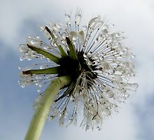 Dandelion by Hannah Fenton-Williams