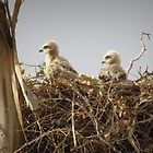 Red-tailed Hawk Chicks ~ Third Generation by Kimberly P-Chadwick