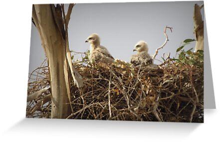 Red-tailed Hawk Chicks ~ Third Generation by Kimberly Chadwick