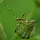 Bush katydid nymph by Kate Farkas
