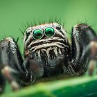 Evarcha arcuata male jumping spider by Mario Cehulic