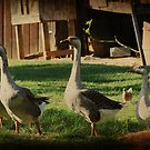 Farmyard Geese by Ginger  Barritt