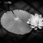 Monochrome Water Lily (Nymphaeaceae) by mlphoto