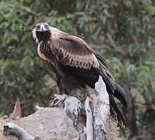 Here's Looking At You Kiddo  Wedge Tailed Eagle Canberra Australia  by Kym Bradley