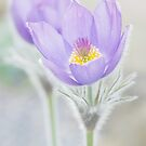 Pasque Flower by imagejournal