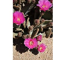 Closeup of a Prickly Pear Cactus in Bloom Photographic Print