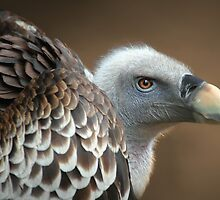 Vulture by jimmy hoffman