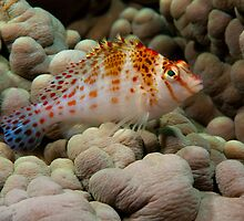 Dwarf Hawkfish, Wakatobi National Park, Indonesia by Erik Schlogl
