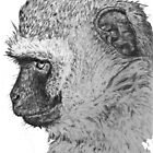 Vervet monkey by patricia shrigley