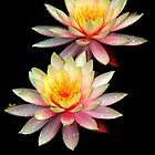 Water Lillies by yook