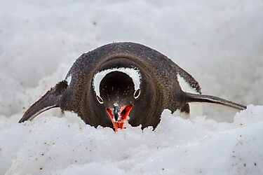 Gentoo Penguin - Antarctica by DestnUnknown