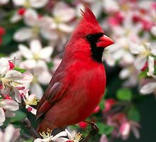 Cardinal Joy by SandraWidner