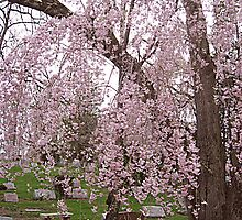 Cherry Blossoms Weep Over My Sister's Grave by Jane Neill-Hancock