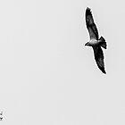 Osprey's Eyes by Jonathon Speed