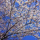 Blossoms Against the Sky ! by Nancy Richard
