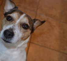 Jack Russell Terrier by JMG1883