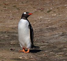 Gentoo Penguin, Falkland Islands by Geoffrey Higges