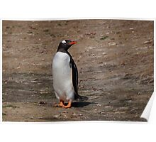 Gentoo Penguin, Falkland Islands Poster