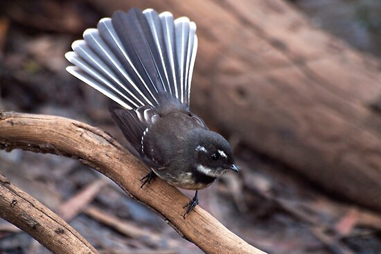 Doing the Fantail Dance by John Sharp