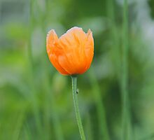 Orange Poppy #1 by KUJO-Photo