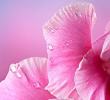 Happy Mother's Day  Pink Macro Gladiola  by Randy & Kay Branham