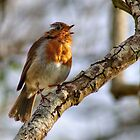 Robin singing by Chris Day