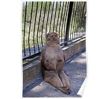 A Barbary Macaque resting In the shade in Gibraltar Poster