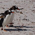 Gentoo Penguins, Falkland Islands by Geoffrey Higges