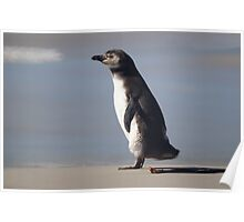 Magellanic Penguin Juvenile, Falkland Islands Poster