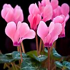Pink Cyclamen by mlphoto