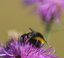 Busy Bee at Work by mlphoto