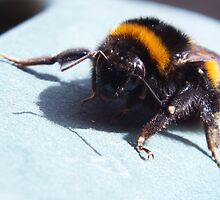 A sunbathing bumble bee by Lorna Taylor