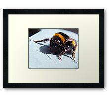 A sunbathing bumble bee Framed Print