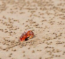 Ghost Crab (Ocypode guadichaudii) 2 by Paul Wolf