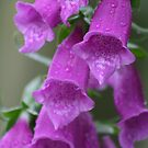 Foxgloves by ellismorleyphto