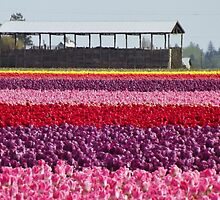 A Rainbow of Tulips by seeingred13